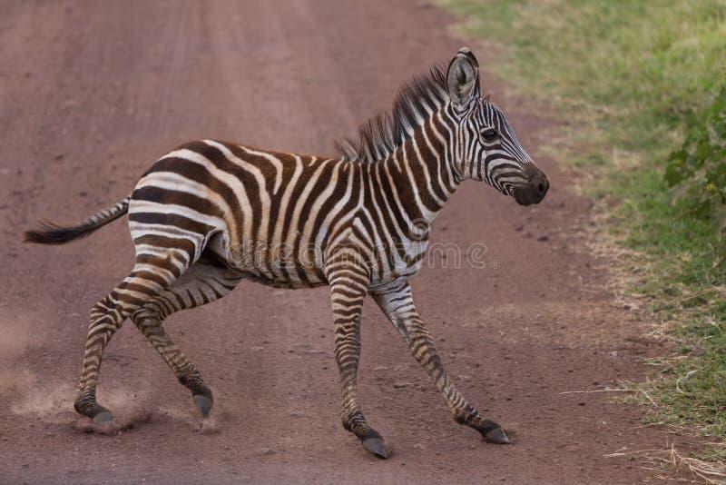 Una giovane zebra che si ferma improvvisamente immagini stock libere da diritti