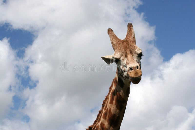 Una giraffa immagine stock libera da diritti