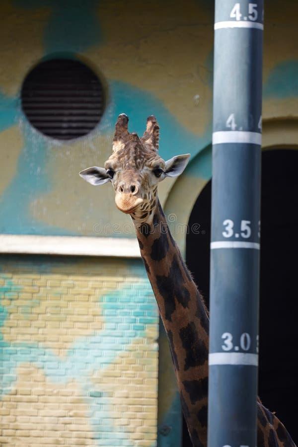 Una giraffa che sta accanto ad un palo di misura di altezza fotografia stock