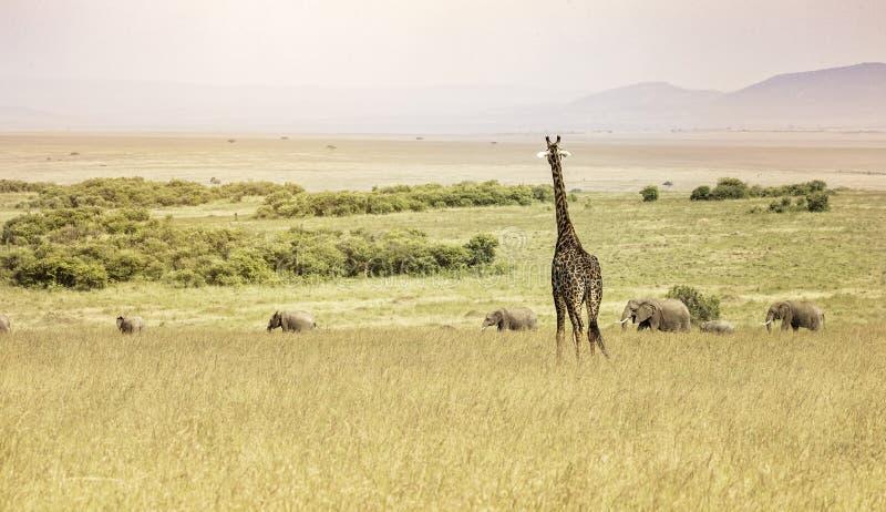 Una giraffa che trascura una linea di elefanti nel Maasai Mara fotografie stock