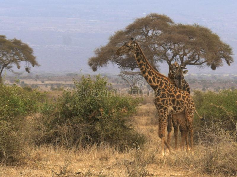 Una giraffa maschio segue una femmina in amboseli, Kenia fotografie stock libere da diritti