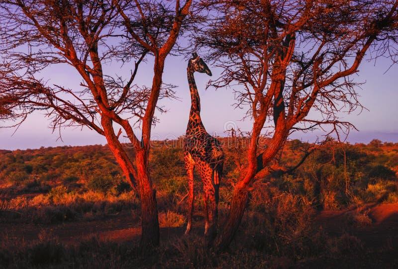 Una giraffa in parco nazionale Amboseli - Kenya fotografia stock libera da diritti