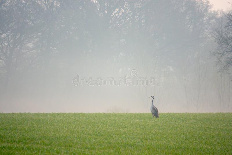 Una grúa está buscando la comida en un campo temprano por la mañana fotos de archivo libres de regalías