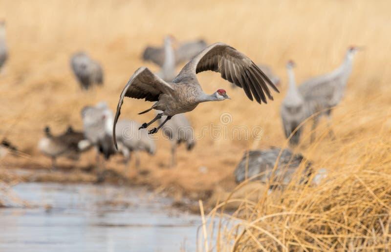 Una grúa hermosa del sandhill que vuela sobre un prado pantanoso imagen de archivo