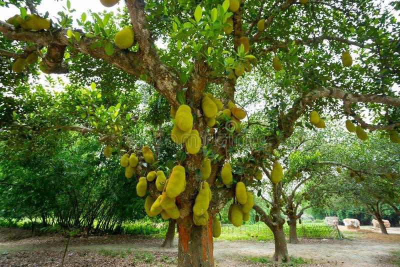 Una gran escala de jackfruteros colgando del árbol. El fruto de la chaqueta es el fruto nacional de Bangladesh. Es un fruto del v fotos de archivo libres de regalías