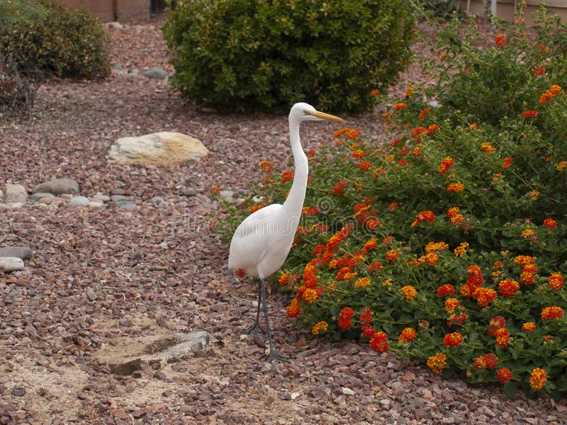 Una gran garceta se detiene brevemente migración en la yarda en Tucson AZ fotos de archivo