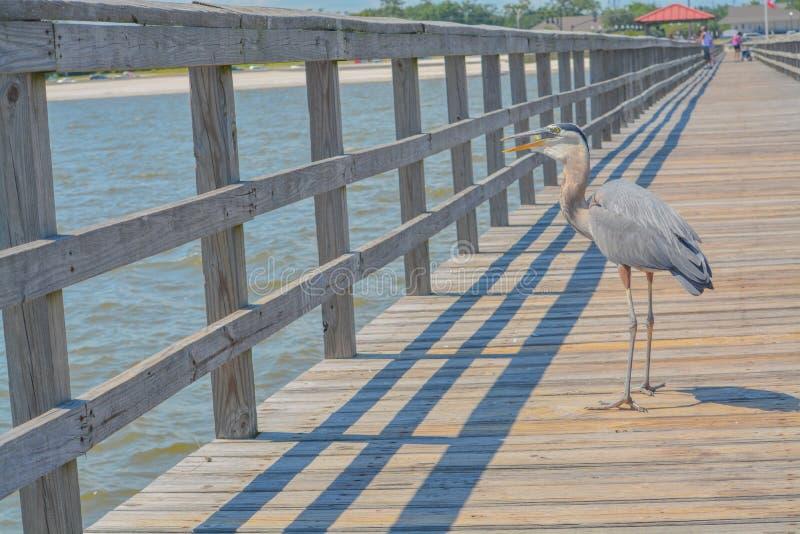 Una gran garza azul come un pescado en el embarcadero pesquero en el puerto del golfo, Harrison County Mississippi, el Golfo de M imagenes de archivo