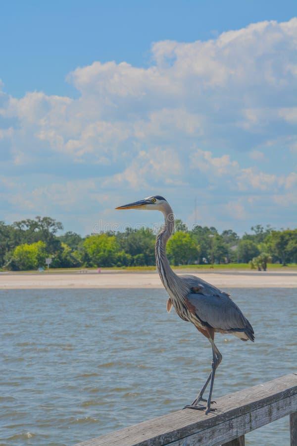 Una gran garza azul en Jim Simpson Sr que pesca el embarcadero, Harrison County, Gulfport, Mississippi, el Golfo de M?xico los E. foto de archivo libre de regalías