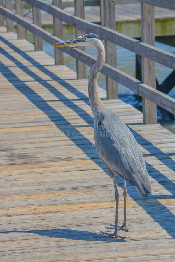 Una gran garza azul en Jim Simpson Sr que pesca el embarcadero, Harrison County, Gulfport, Mississippi, el Golfo de M?xico los E. fotografía de archivo libre de regalías