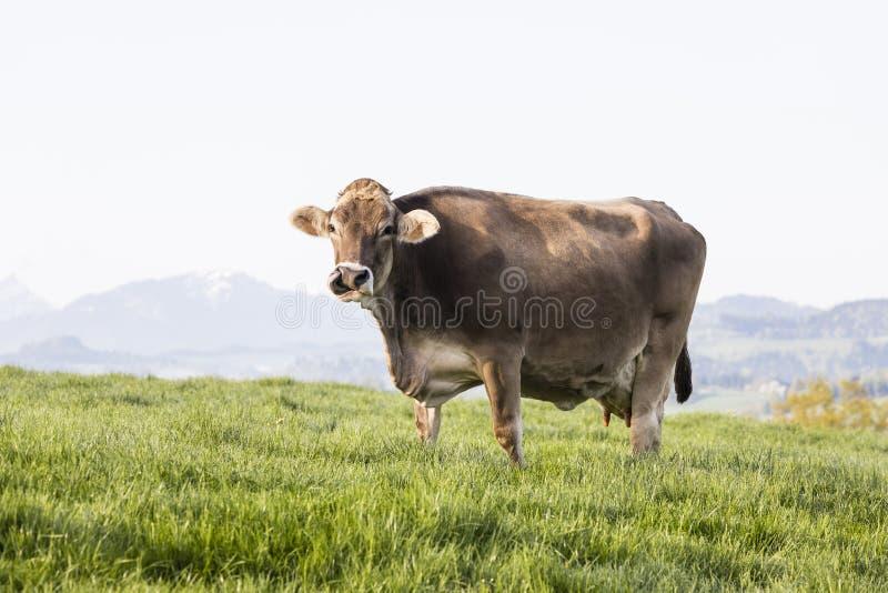Una grande bella più vecchia mucca del bestiame di Brown dello svizzero della razza sta in un prato immagini stock libere da diritti