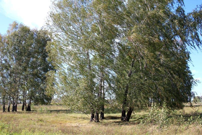 Una grande betulla dell'albero di estate nel campo piegato sotto la pressione dei rami del forte vento ha allungato lateralmente  fotografia stock libera da diritti