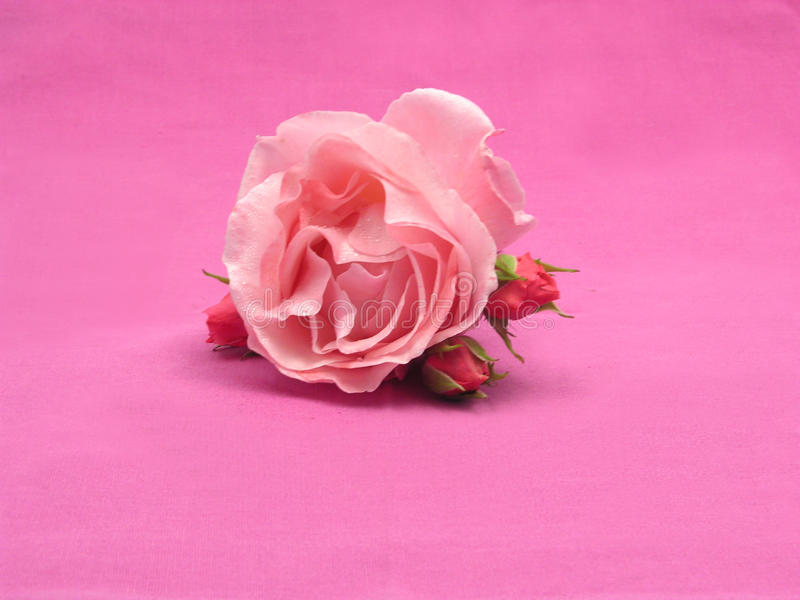 Una grande e tre piccola rose fotografia stock libera da diritti