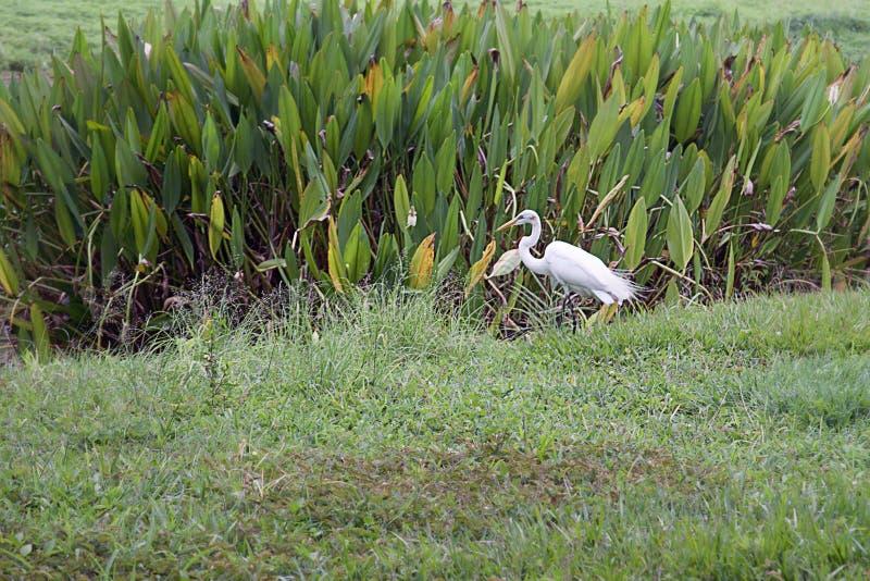 Una grande egretta su un parco a Caracas fotografia stock