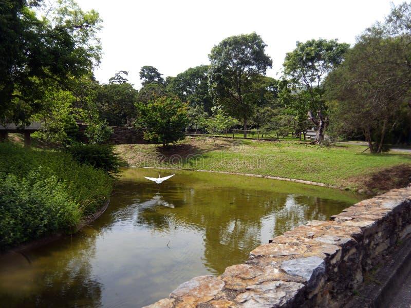 Una grande egretta su un parco a Caracas immagini stock libere da diritti