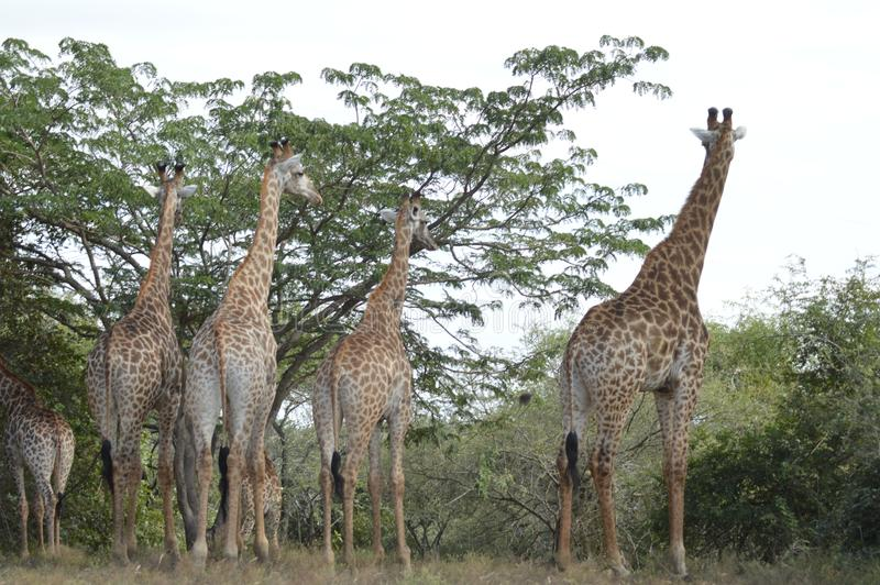 Una grande famiglia della giraffa nel parco di Marloth che cammina sulle vie intorno alle case fotografia stock