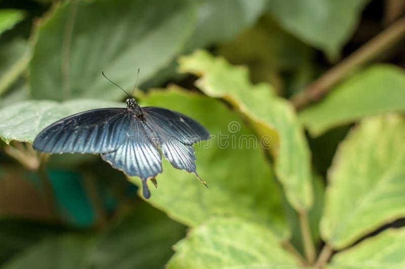 Una grande farfalla mormonica gialla fotografia stock libera da diritti