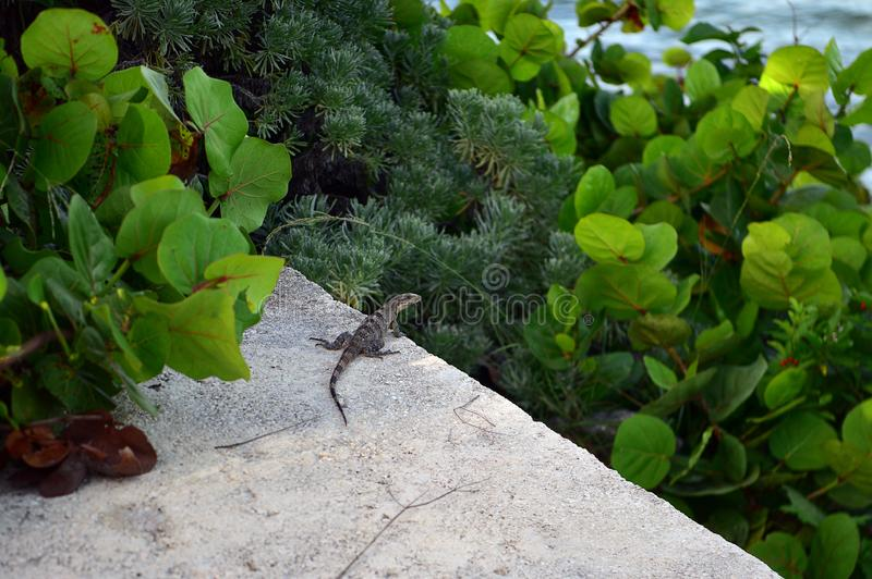 Una grande iguana prende il sole su un primo piano grigio della roccia del calcare fotografie stock libere da diritti