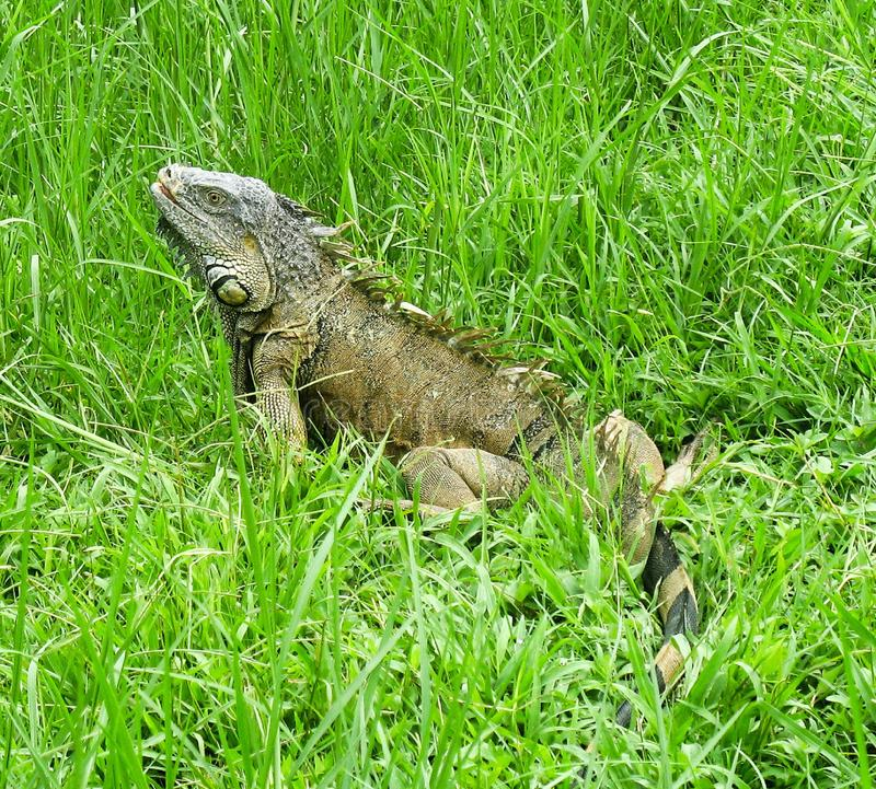 Una grande iguana verde maschio fotografia stock libera da diritti