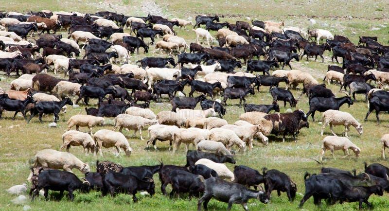 Una grande moltitudine di pecore fotografia stock libera da diritti