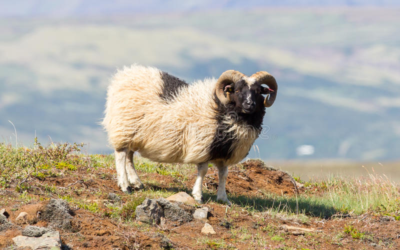 Una grande pecora islandese del corno immagini stock