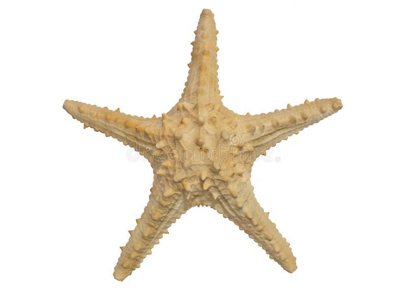 Una grande stella marina isolata su fondo bianco fotografia stock
