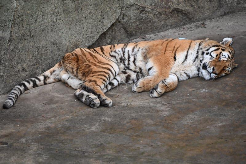 Una grande tigre addormentata fotografia stock libera da diritti
