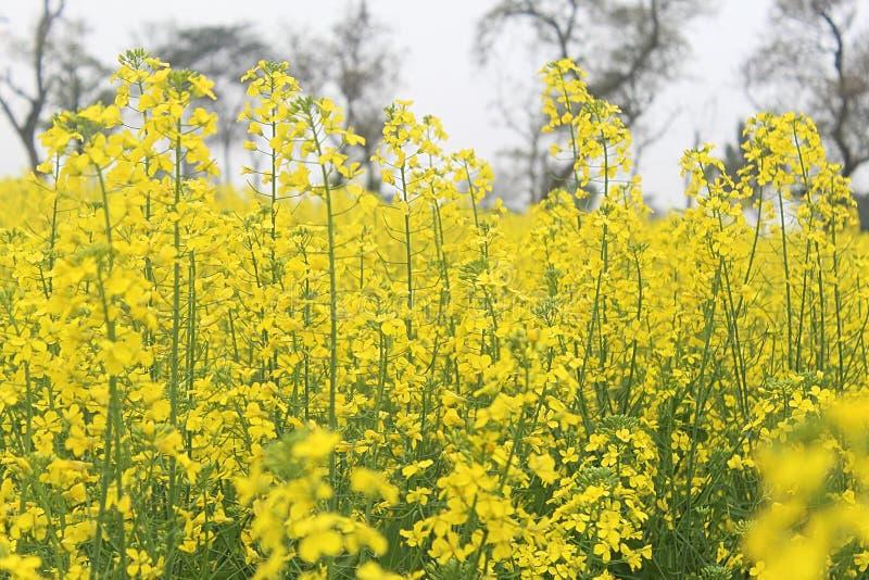 Una granja de la mostaza amarilla con el tronco verde en cielo claro fotografía de archivo