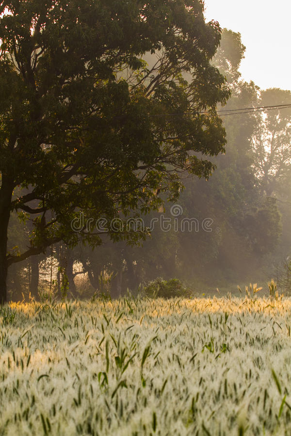Una granja del trigo por mañana fotografía de archivo