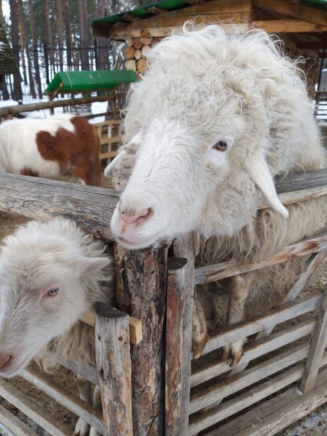 Una granja y ovejas imagen de archivo
