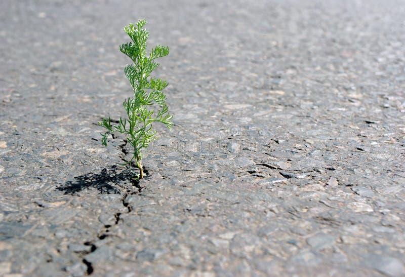 Una grieta en el asfalto Chíbese el ajenjo que crece en una grieta en el camino Copie los espacios foto de archivo