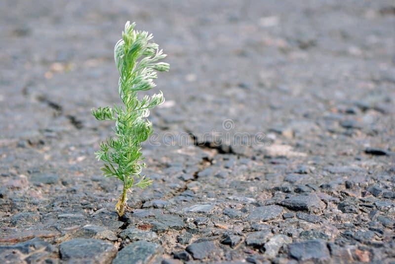 Una grieta en el asfalto Chíbese el ajenjo que crece en una grieta en el camino Copie los espacios imágenes de archivo libres de regalías