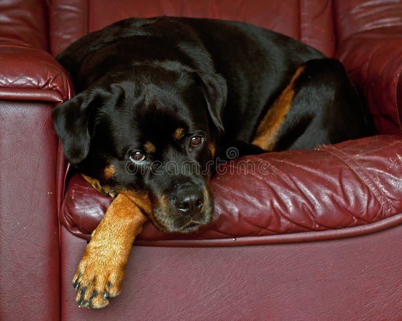 Una hembra año de doce Rottweiler está descansando fotografía de archivo libre de regalías
