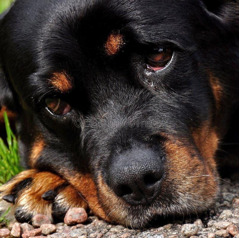 Una hembra a?o de doce Rottweiler est? descansando foto de archivo