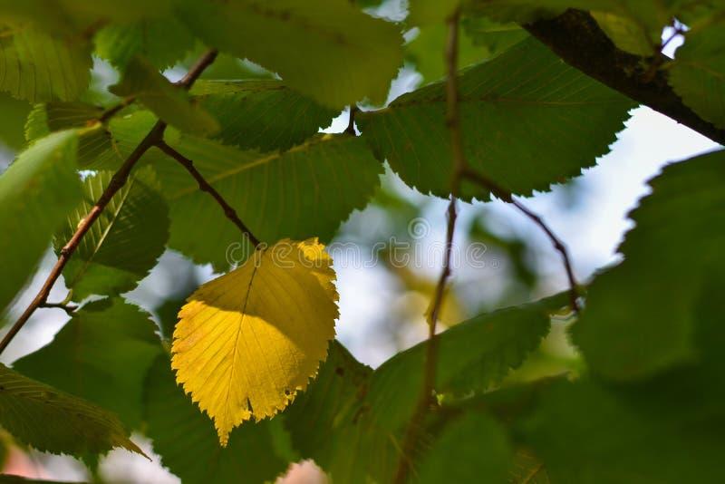 Una hoja amarilla del otoño en un árbol entre las hojas verdes fotos de archivo libres de regalías