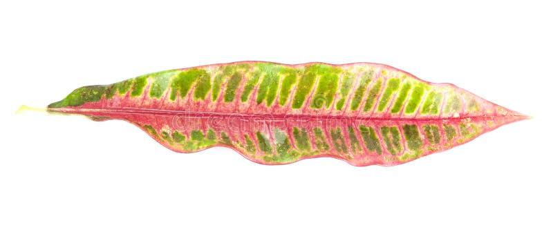 Una Hoja Colorida Del Croton Aislada En Blanco Foto de archivo libre de regalías
