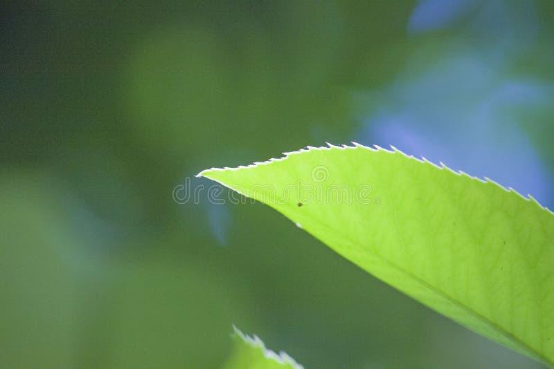 Una hoja con las hojas verdes blandas sale de una flor de la planta fotografía de archivo