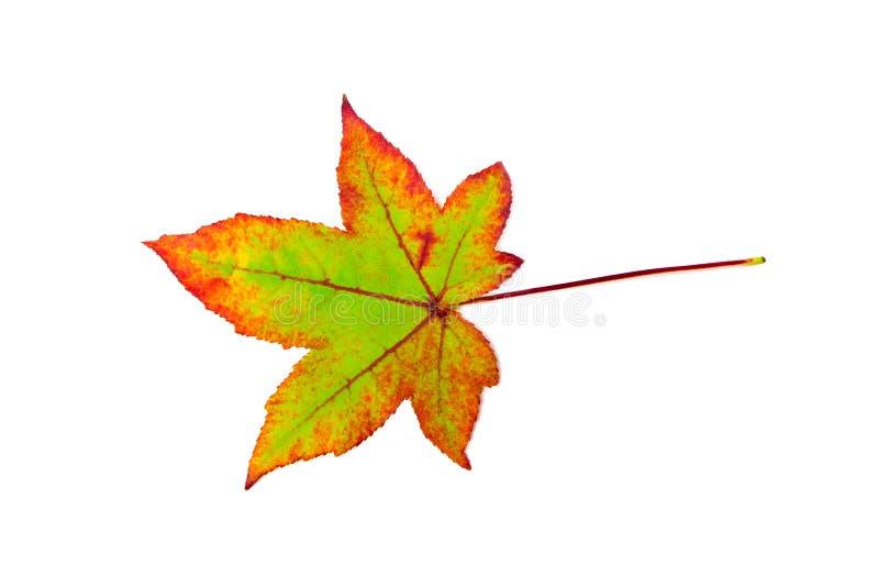 Una hoja de arce colorida en otoño en blanco fotografía de archivo libre de regalías