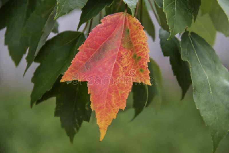 Una hoja hermosa brillantemente coloreada del otoño que cuelga en árbol delante de las hojas verdes con el fondo borroso imagen de archivo