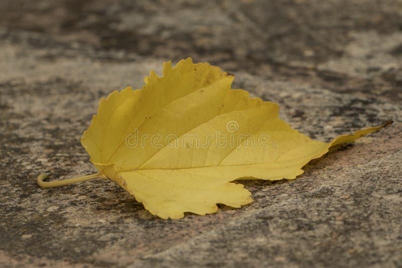 Una hoja otoñal amarilla en piedra fotos de archivo