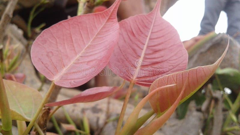 Una hoja rosada hermosa que enywhere crecido y x28; leaf& x29 de los ficus; imagenes de archivo