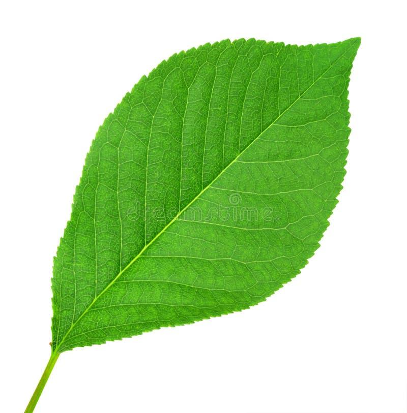Una hoja verde de cerezo fotografía de archivo