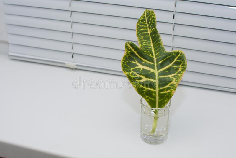 Una hoja verde de una planta se coloca en el alféizar en un vaso de agua Concepto: germinación de la raíz, fitogenética en ca imágenes de archivo libres de regalías