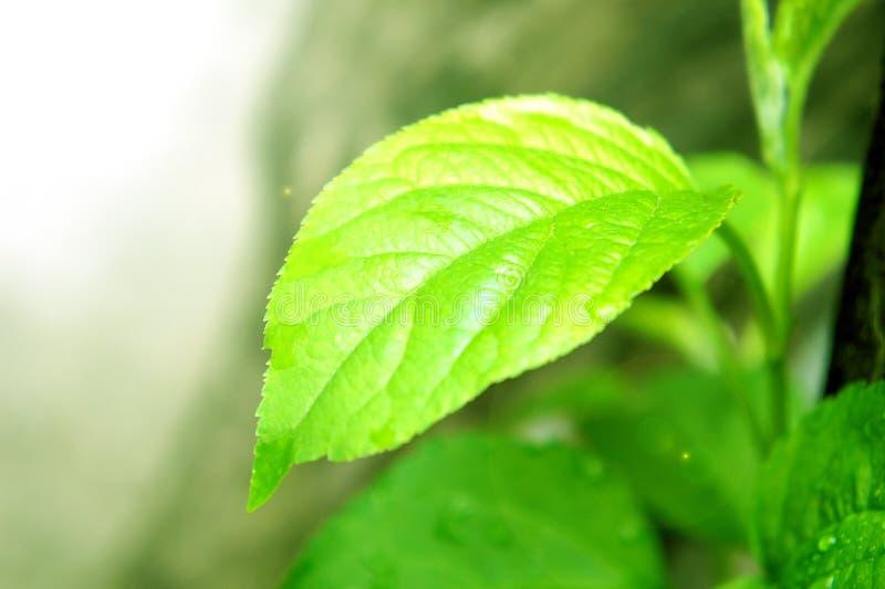 Una hoja verde en el sol un joven de la fruta de árbol del brote por la mañana imagenes de archivo