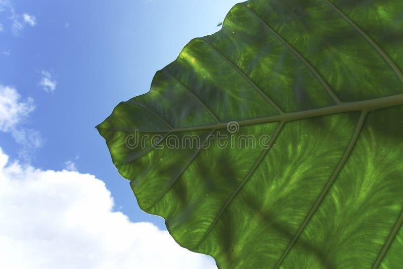 Una hoja verde oscuro con un cielo azul brillante y una nube como fondo imagen de archivo libre de regalías