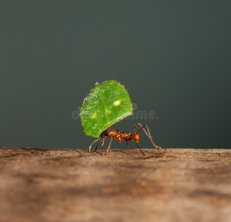 Una hormiga del cortador de la hoja fotografía de archivo libre de regalías