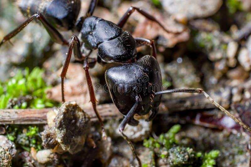 Una hormiga del soldado fotografía de archivo