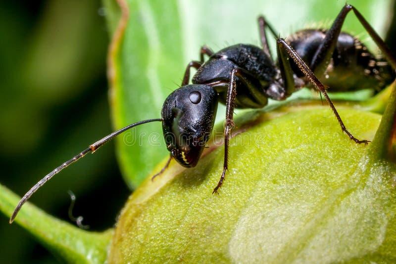 Una hormiga en un brote de la peonía foto de archivo libre de regalías