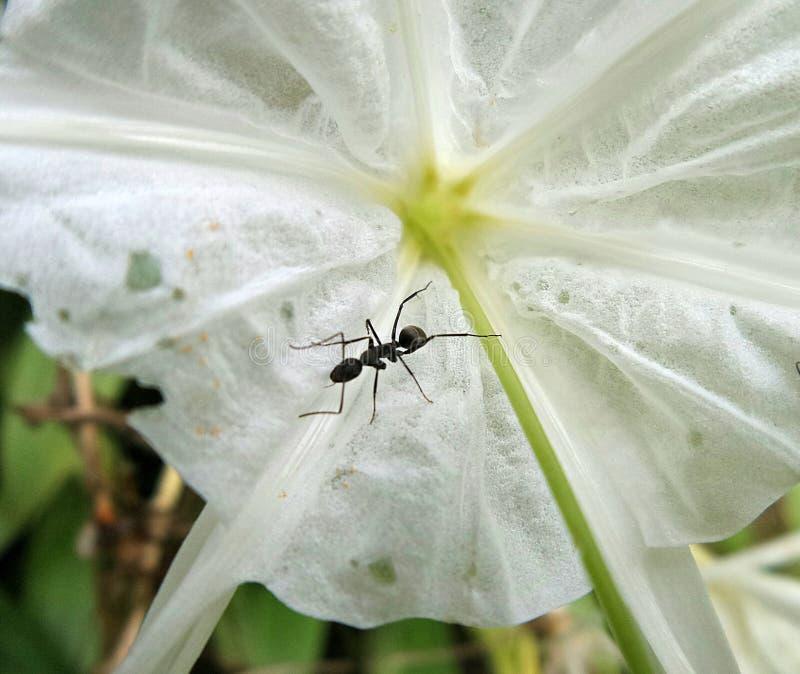 Una hormiga negra a mediados de la flor blanca imágenes de archivo libres de regalías