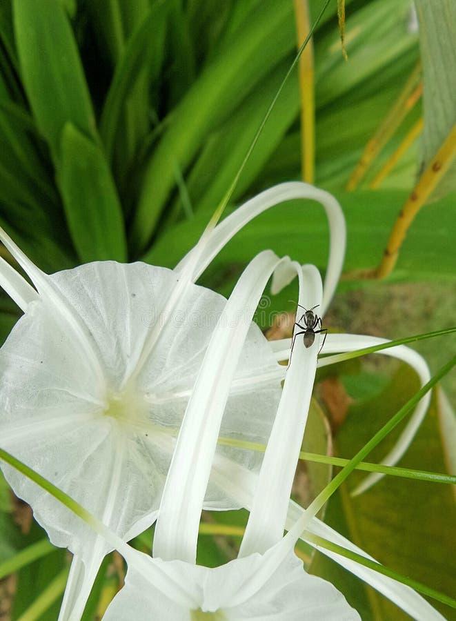 Una hormiga que camina en el pétalo de la flor blanca fotografía de archivo libre de regalías