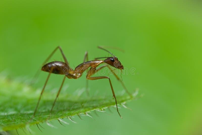 Una hormiga roja fotos de archivo libres de regalías